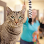 Volunteers care for the cats in the animal shelter's communal 'cat room,' providing food, water, medicine and entertainment.