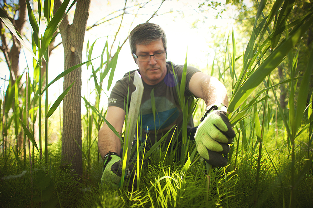 David Sweetnam, executive director of Georgian Bay Forever, cuts invasive phragmites plants near the Collingwood Arboretum. The alien reeds are invading shorelines and wetlands throughout Southern Georgian Bay, making them impassible by humans and uninhabitable by other plants and wildlife.