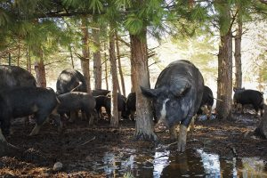 Berkshire pigs thrive outdoors on the Mitchell Farm, eliminating the need for a barn while turning and fertilizing the soil.