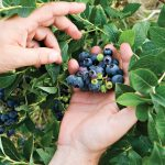 Wild blueberries can be found in abundance and can also be grown in your own backyard.