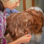 Dr. Michelle Kinoshita performs acupuncture on the writer's dog, Coco.