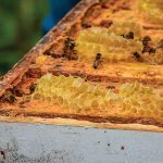The bees feed on the honey, which, along with the smoke, helps keep them calm during harvesting.