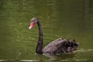 Richard Garner – Black Swan