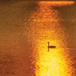 Richard Garner – Canada goose at sunset