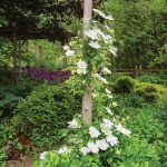 With a deck opening off the family room. White clematis thrives on a cedar arbour.