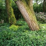 Moss on the black ash tree trunks and lush mounds of periwinkle attest to the full shade of the garden.