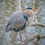 Richard Garner – blue heron
