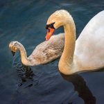 Richard Garner – swan and signets